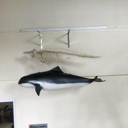 Schweinswal mit Skelett