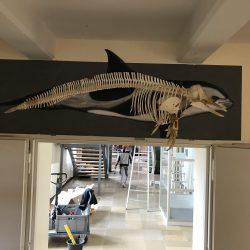 Weißseitendelfin mit Skelett