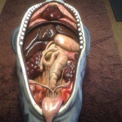 Seehund Organe1